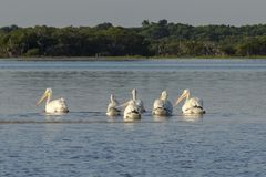 Белые пеликаны удя в реке стоковые изображения rf