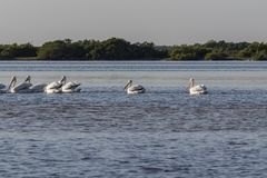 Белые пеликаны удя в реке стоковая фотография