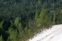 Белые песок и сосна в лесе Фонтенбло стоковая фотография rf