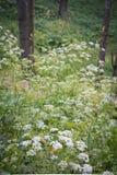 Белые полевые цветки в лесе лета Стоковое фото RF