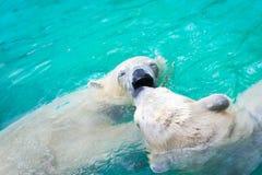 Белые полярные медведи Стоковое Изображение RF