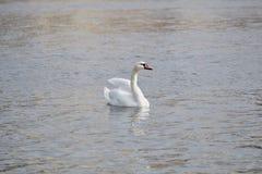 Белые представления лебедя для фотографа стоковая фотография rf