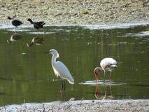 белые птицы болота Стоковое фото RF