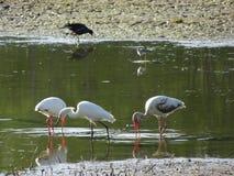 белые птицы болота Стоковые Изображения