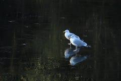 Белые птицы стоя на тонком льде в зиме Стоковое Изображение
