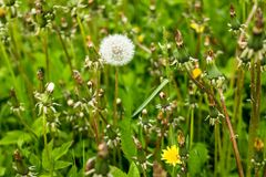 Белые пушистые одуванчики, естественный зеленый цвет запачкали предпосылку весны, селективный фокус Красивые белые цветки одуванч Стоковая Фотография RF