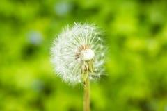 Белые пушистые одуванчики, естественный зеленый цвет запачкали предпосылку весны, селективный фокус Красивые белые цветки одуванч Стоковое Изображение RF