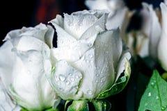Белые розы в падениях воды стоковые изображения