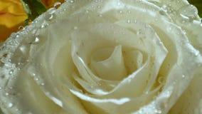 Белые розы с падениями воды в солнце утра E : сток-видео