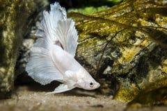 Белые рыбы betta бабочки Стоковое Изображение
