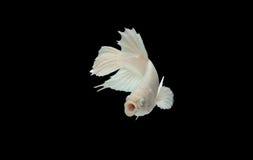 Белые рыбы Betta раскрывая свой рот и смотря на к камере Сиамские воюя рыбы изолированные на черной предпосылке, с путем клиппиро Стоковые Фото