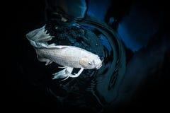Белые рыбы koi рыб или бабочки гречихи Стоковое Изображение