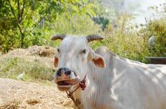 белые скотины Брахмана в ферме Стоковые Изображения RF
