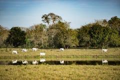 Белые скотины отражая в реке - пасущ на выгоне Стоковая Фотография