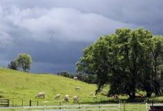 Белые скотины Charolais пася на горном склоне Стоковое Изображение