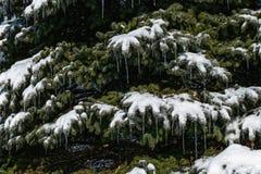 Белые снег и сосульки на елевом дереве стоковое изображение