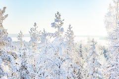 Белые снежные березы в зимнем лесе в солнечности стоковое фото