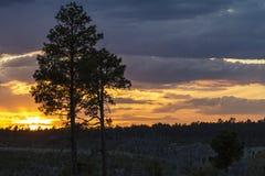 Белые сосны Lodgepole silhouetted против захода солнца Аризоны Стоковая Фотография