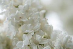 Белые старшие цветки Стоковое Изображение RF