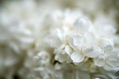 Белые старшие цветки Стоковые Фото