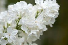 Белые старшие цветки Стоковое Изображение