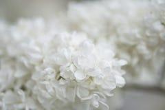 Белые старшие цветки Стоковые Изображения RF