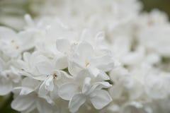 Белые старшие цветки Стоковое фото RF