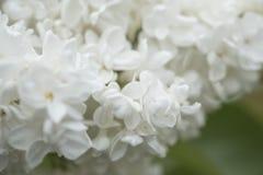 Белые старшие цветки Стоковая Фотография