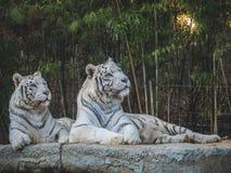 Белые тигры смотря прочь в лесе стоковые изображения rf