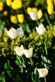 Белые тюльпаны в парке Стоковая Фотография