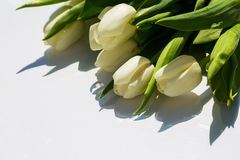 Белые тюльпаны, на белой предпосылке Стоковое фото RF