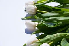 Белые тюльпаны, на белой предпосылке Стоковая Фотография