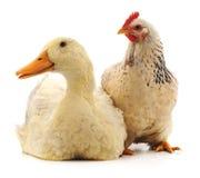 Белые утка и цыпленок стоковое фото