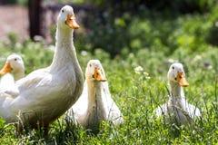 Белые утки на зеленой траве в ферме Стоковое Фото