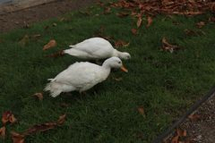 Белые утки на лужайке Стоковые Изображения RF