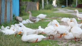 Белые утки фермы дорогой сельской местности сток-видео
