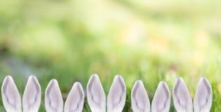 Белые уши кролика/зайчика в ряд на предпосылке солнечной зеленой лужайки, концепции пасхи Стоковое фото RF