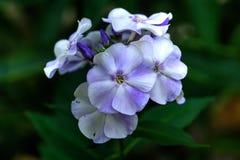 Белые флоксы Культивируемый цветок Стоковые Фото