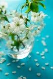Белые хворостины вишневого цвета в стеклянной вазе на голубой бумажной предпосылке скопируйте космос Селективный фокус стоковое фото rf
