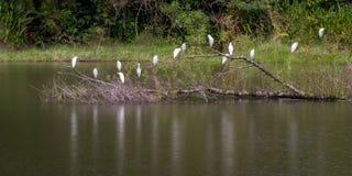 Белые цапли на пруде Стоковые Фото
