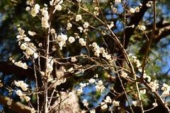 Белые цветение и ветвь сливы Стоковые Изображения