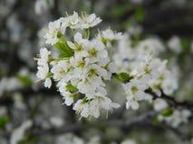 Белые цветения стоковое фото rf