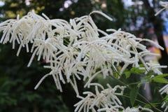 Белые цветеня astilbe в саде стоковое изображение