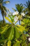 Белые цветки Багамские острова Стоковое Изображение RF
