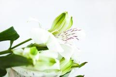 Белые цветки, букет цветков alstroemeria, перуанских лилий Белая предпосылка, космос экземпляра стоковое изображение