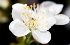 Белые цветки вишни на черной предпосылке Стоковые Изображения RF