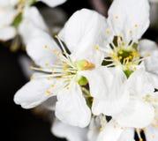 Белые цветки вишни на черной предпосылке Стоковое Изображение