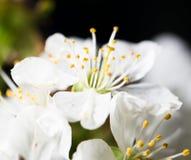 Белые цветки вишни на черной предпосылке Стоковое фото RF