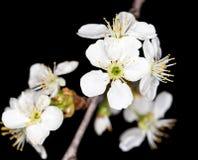 Белые цветки вишни на черной предпосылке Стоковые Фотографии RF