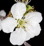 Белые цветки вишни на черной предпосылке Стоковая Фотография RF